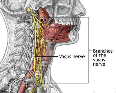 Nervo Vagus Responsável pela Comunicação do Cérebro com o Resto do Corpo