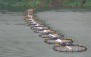 row-of-cages-regal-springs-tilapia-farms